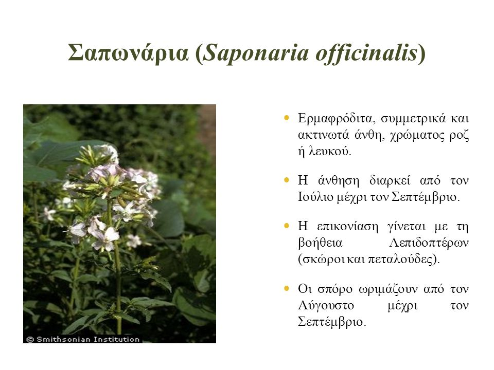 Σαπωνάρια (Saponaria officinalis)