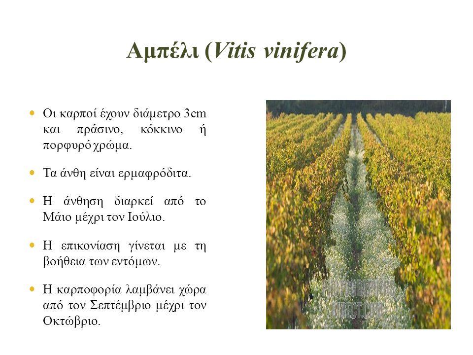 Αμπέλι (Vitis vinifera)