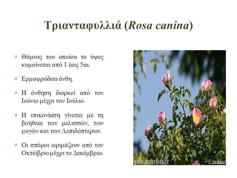Τριανταφυλλιά (Rosa canina)