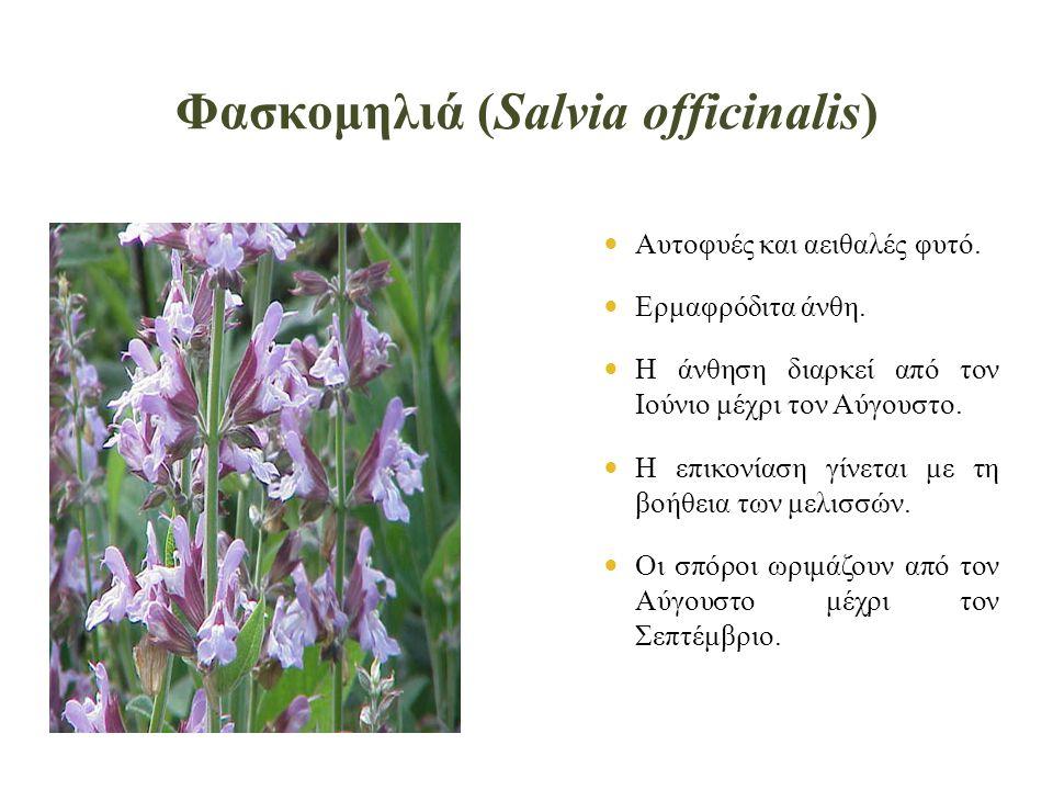 Φασκομηλιά (Salvia officinalis)