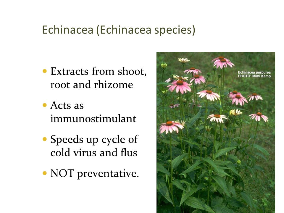 Echinacea (Echinacea species)