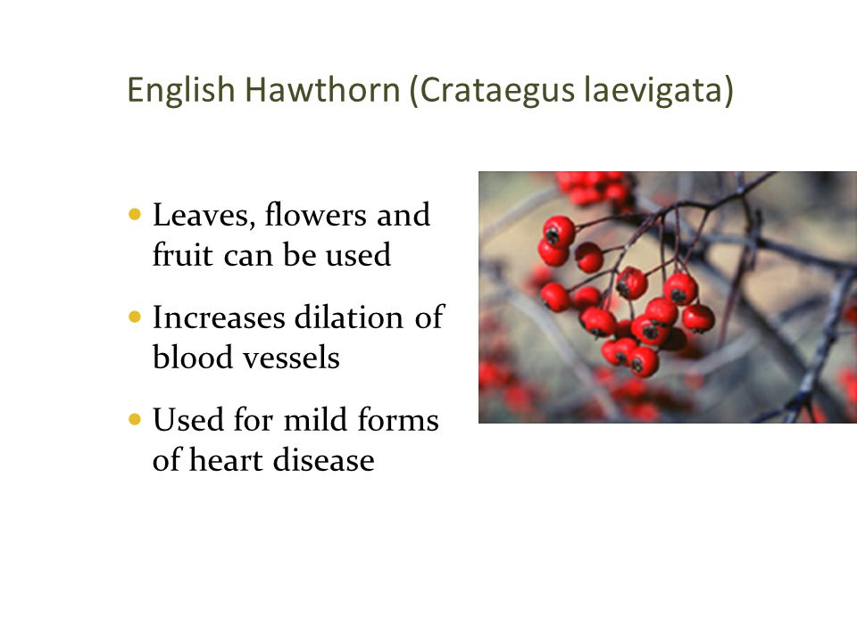 English Hawthorn (Crataegus laevigata)