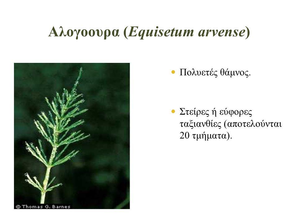 Αλογοουρα (Equisetum arvense)