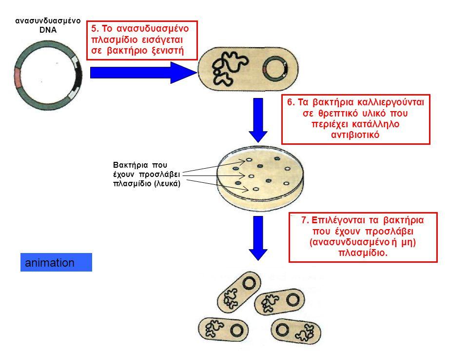 animation 5. Το ανασυδυασμένο πλασμίδιο εισάγεται σε βακτήριο ξενιστή