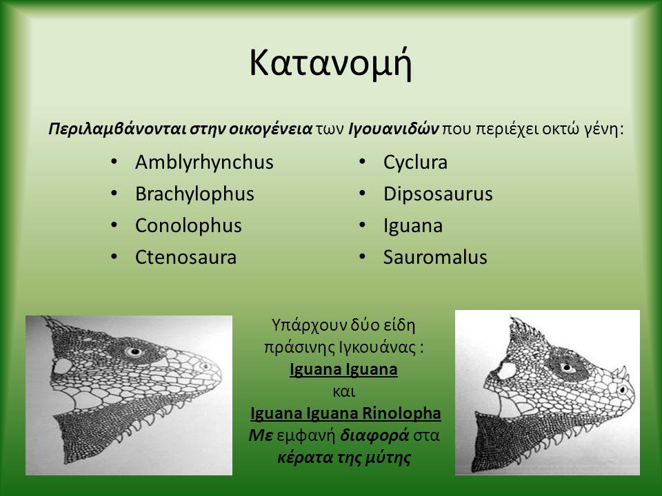 Iguana Iguana Rinolopha
