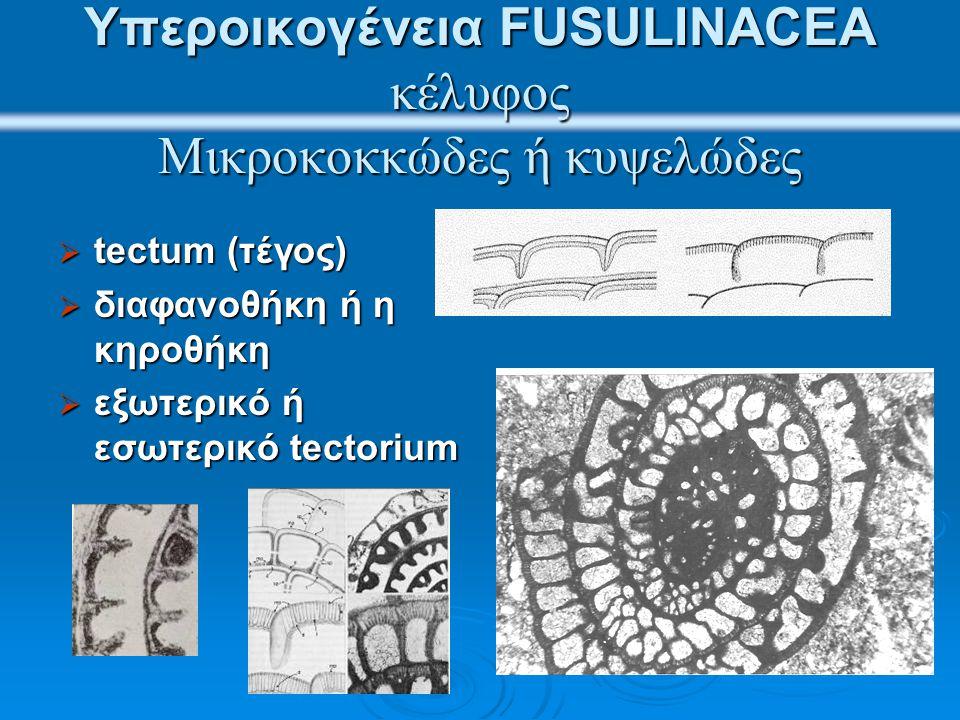 Υπεροικογένεια FUSULINACEA κέλυφος Μικροκοκκώδες ή κυψελώδες