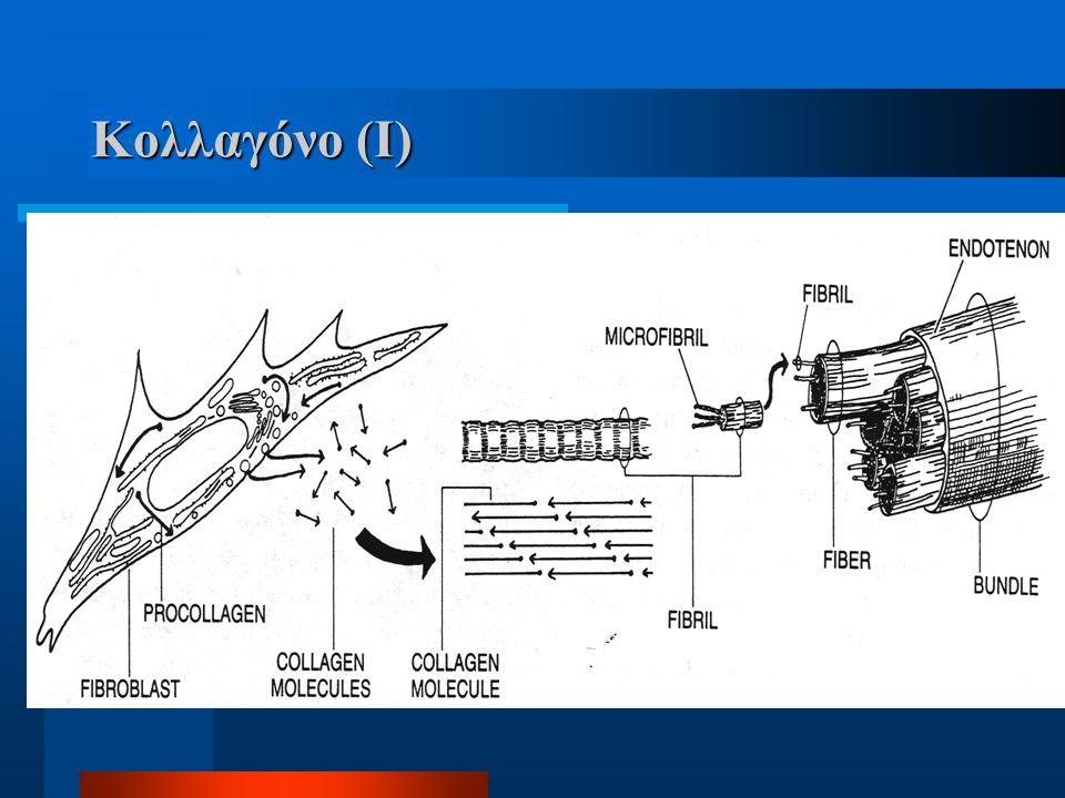 Κολλαγόνο (I) Χαρακτηριστικά Ινοβλάστης>προκολλαγόνο>κολλαγόνο