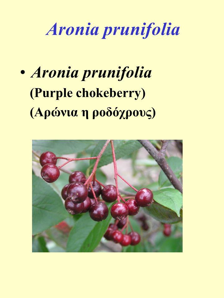 Aronia prunifolia Aronia prunifolia (Purple chokeberry)