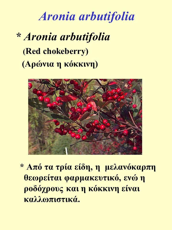Aronia arbutifolia * Aronia arbutifolia (Αρώνια η κόκκινη)