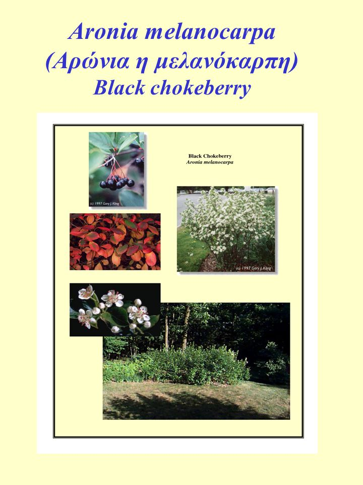 Aronia melanocarpa (Aρώνια η μελανόκαρπη) Black chokeberry