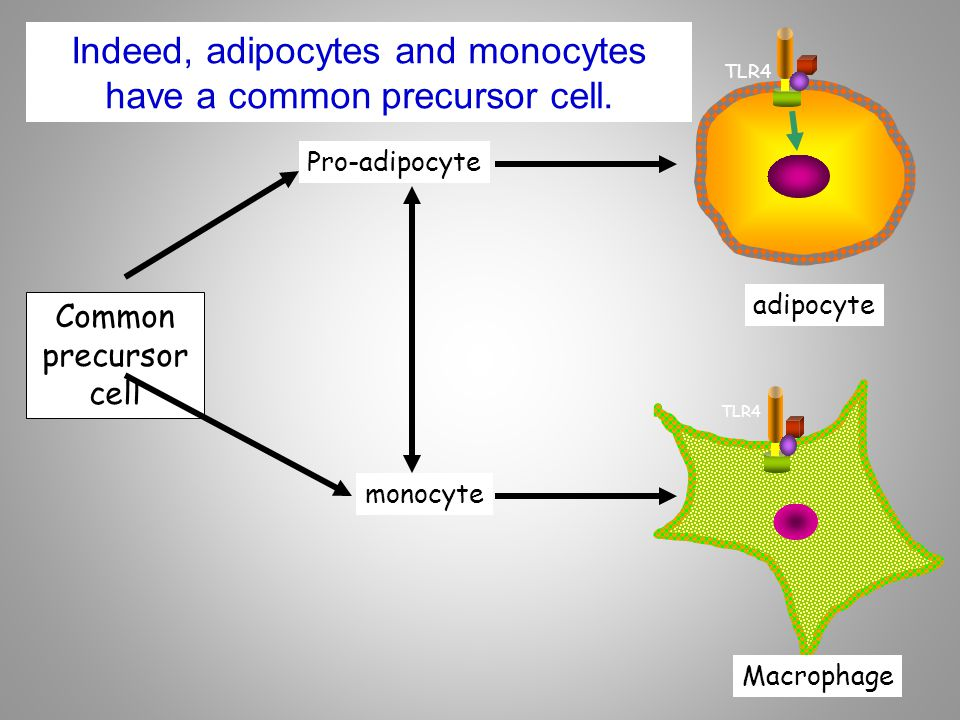 Indeed, adipocytes and monocytes have a common precursor cell.
