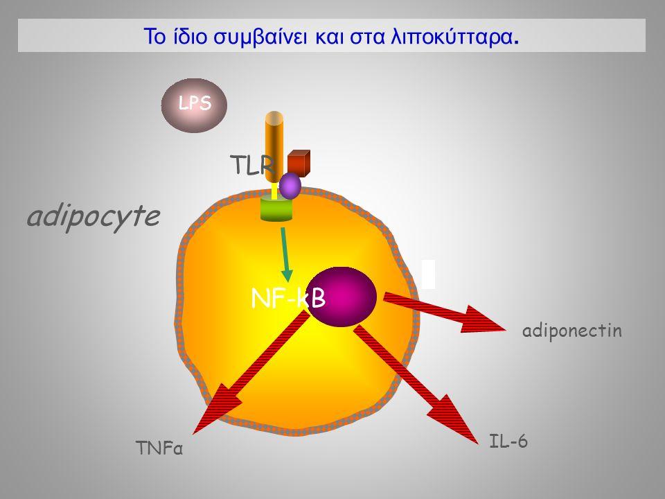 Το ίδιο συμβαίνει και στα λιποκύτταρα.