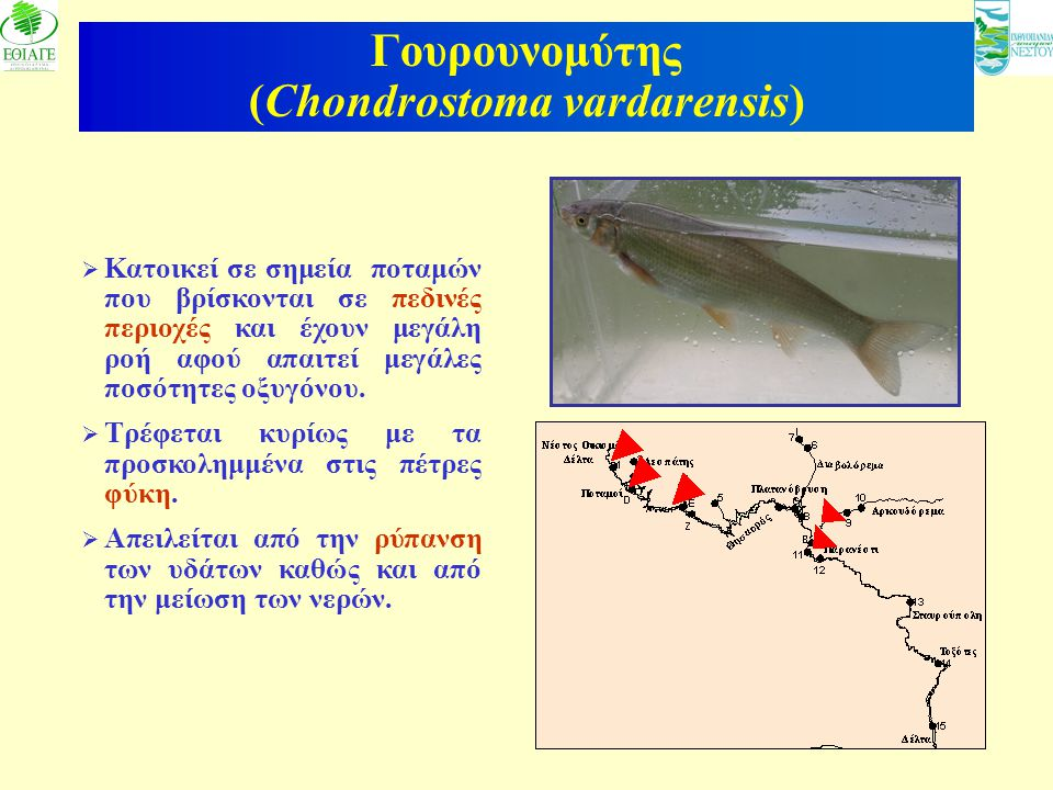 Γουρουνομύτης (Chondrostoma vardarensis)