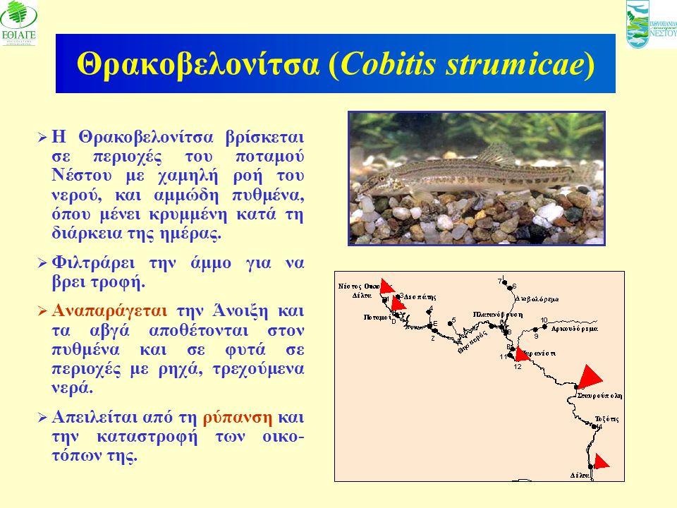 Θρακοβελονίτσα (Cobitis strumicae)