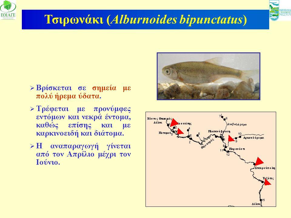 Τσιρωνάκι (Alburnoides bipunctatus)