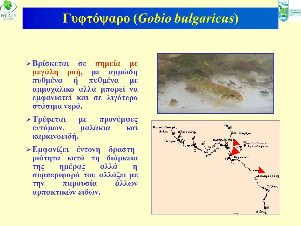 Γυφτόψαρο (Gobio bulgaricus)