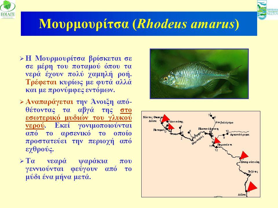 Μουρμουρίτσα (Rhodeus amarus)