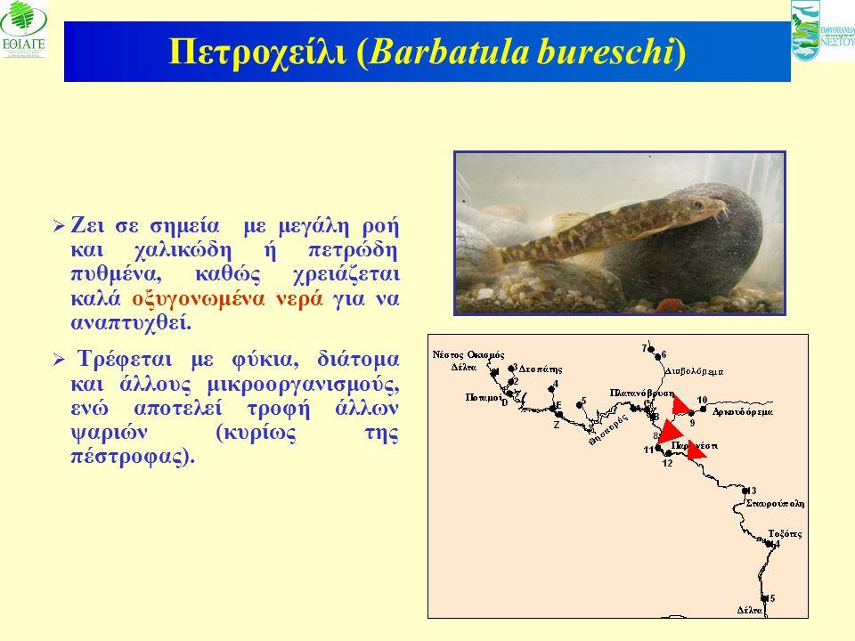 Πετροχείλι (Barbatula bureschi)