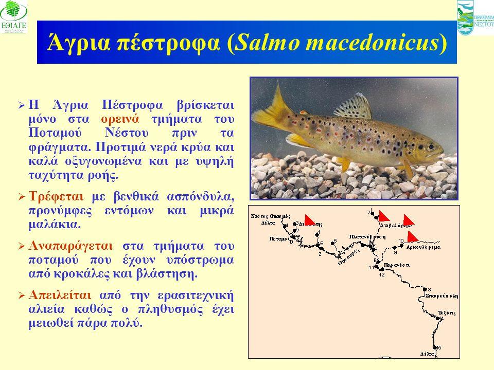 Άγρια πέστροφα (Salmo macedonicus)