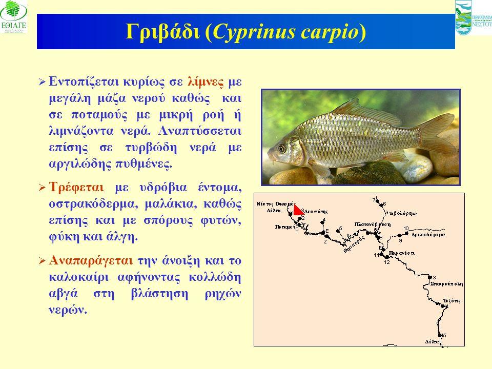 Γριβάδι (Cyprinus carpio)