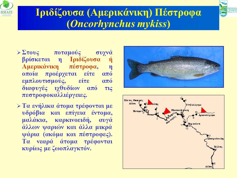 Ιριδίζουσα (Αμερικάνικη) Πέστροφα (Oncorhynchus mykiss)