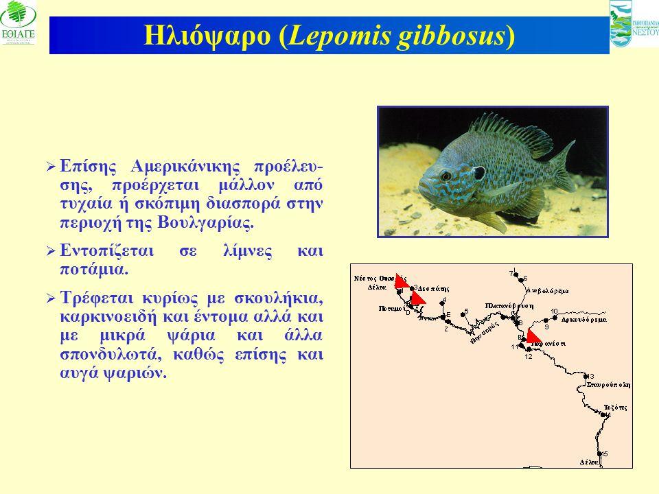 Ηλιόψαρο (Lepomis gibbosus)