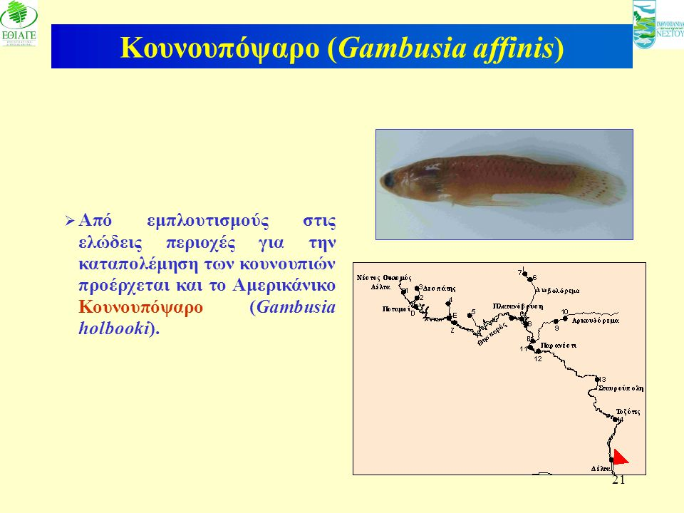 Κουνουπόψαρο (Gambusia affinis)