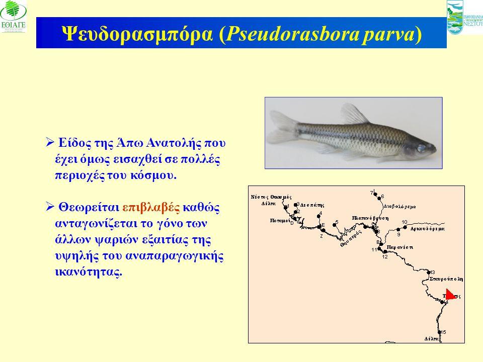 Ψευδορασμπόρα (Pseudorasbora parva)