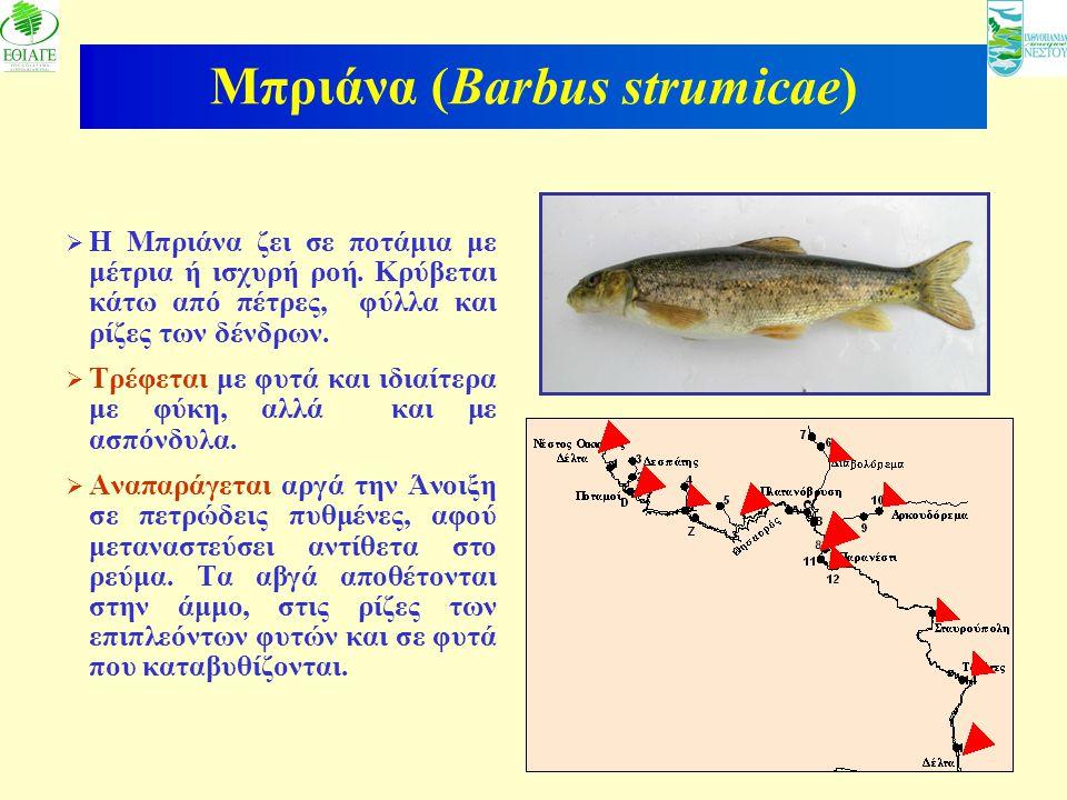 Μπριάνα (Barbus strumicae)
