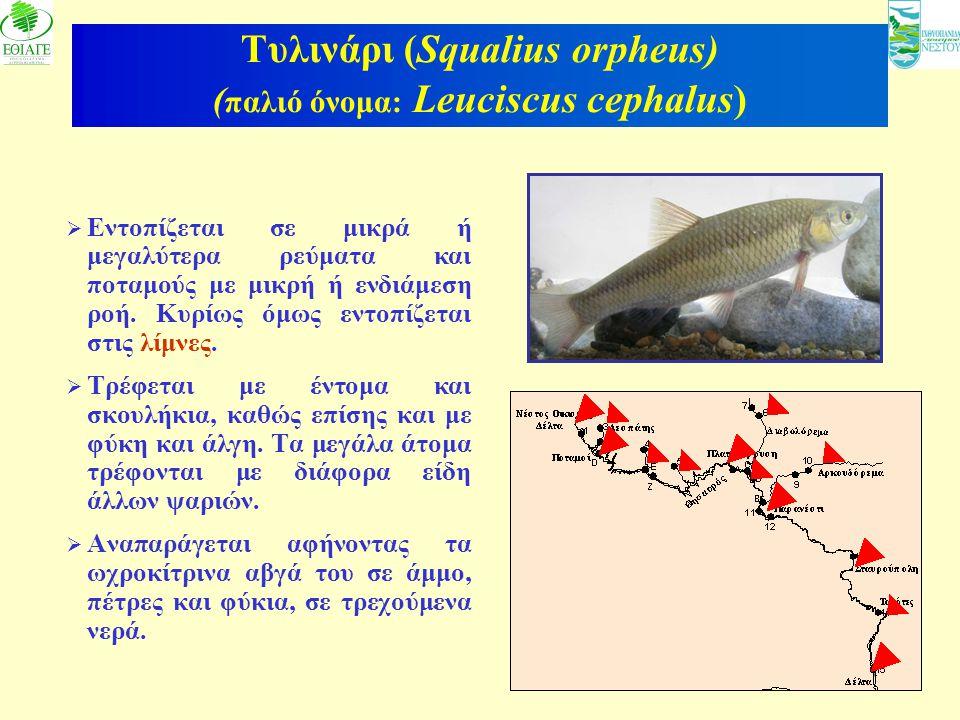 Τυλινάρι (Squalius orpheus) (παλιό όνομα: Leuciscus cephalus)