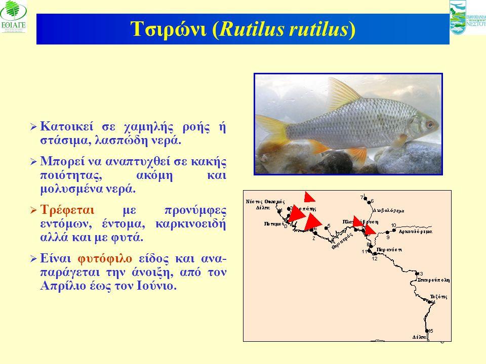 Τσιρώνι (Rutilus rutilus)