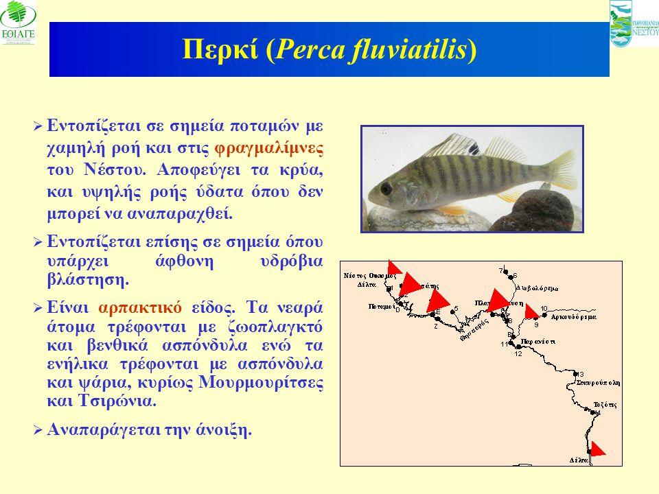 Περκί (Perca fluviatilis)