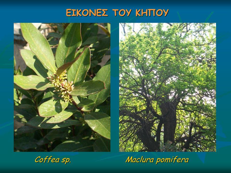 ΕΙΚΟΝΕΣ ΤΟΥ ΚΗΠΟΥ Coffea sp. Maclura pomifera