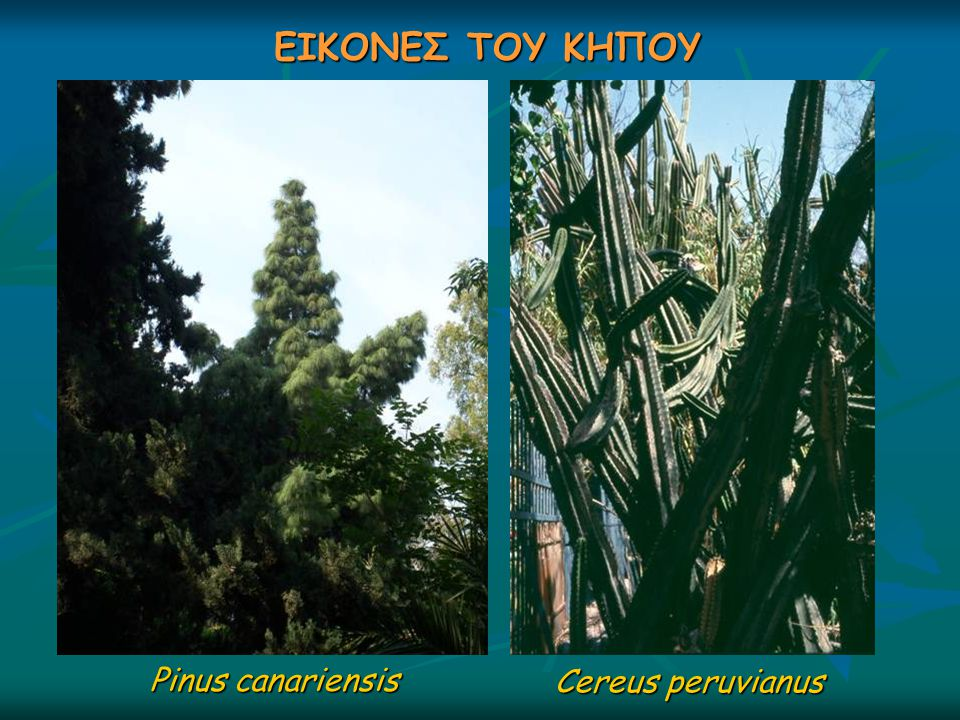 ΕΙΚΟΝΕΣ ΤΟΥ ΚΗΠΟΥ Pinus canariensis Cereus peruvianus
