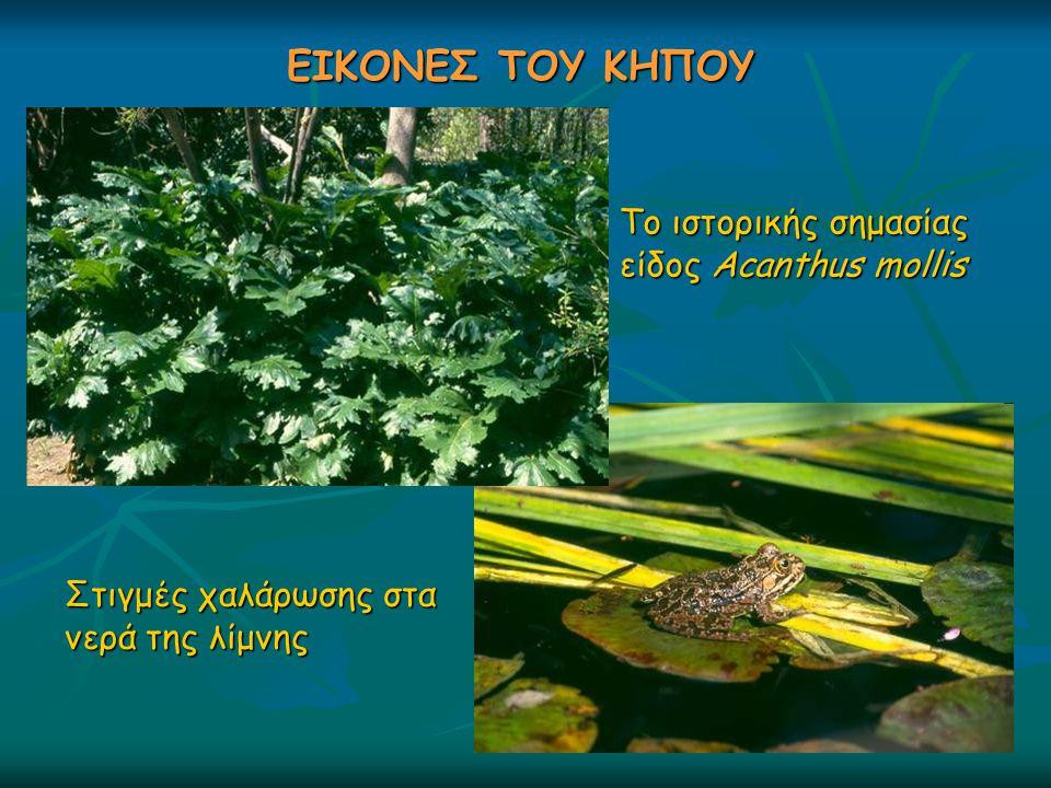 ΕΙΚΟΝΕΣ ΤΟΥ ΚΗΠΟΥ Το ιστορικής σημασίας είδος Acanthus mollis