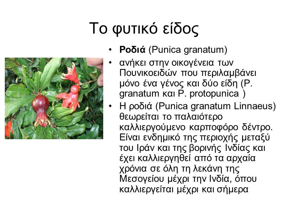 Το φυτικό είδος Ροδιά (Punica granatum)