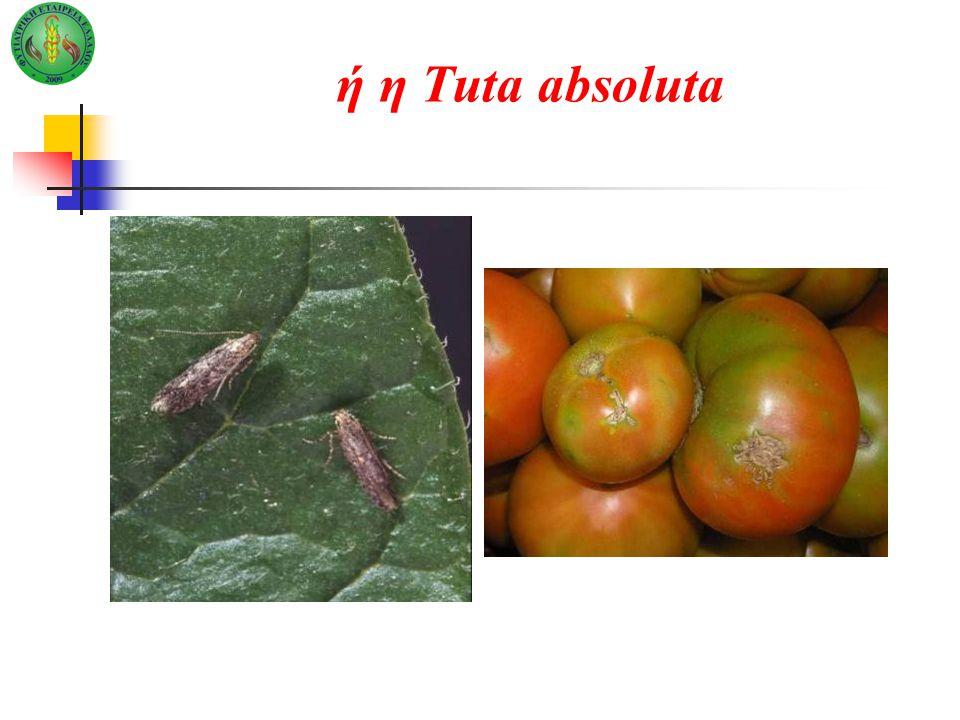 ή η Tuta absoluta