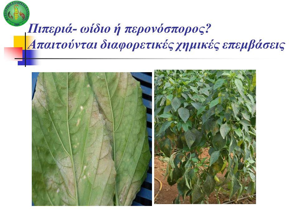 Πιπεριά- ωίδιο ή περονόσπορος