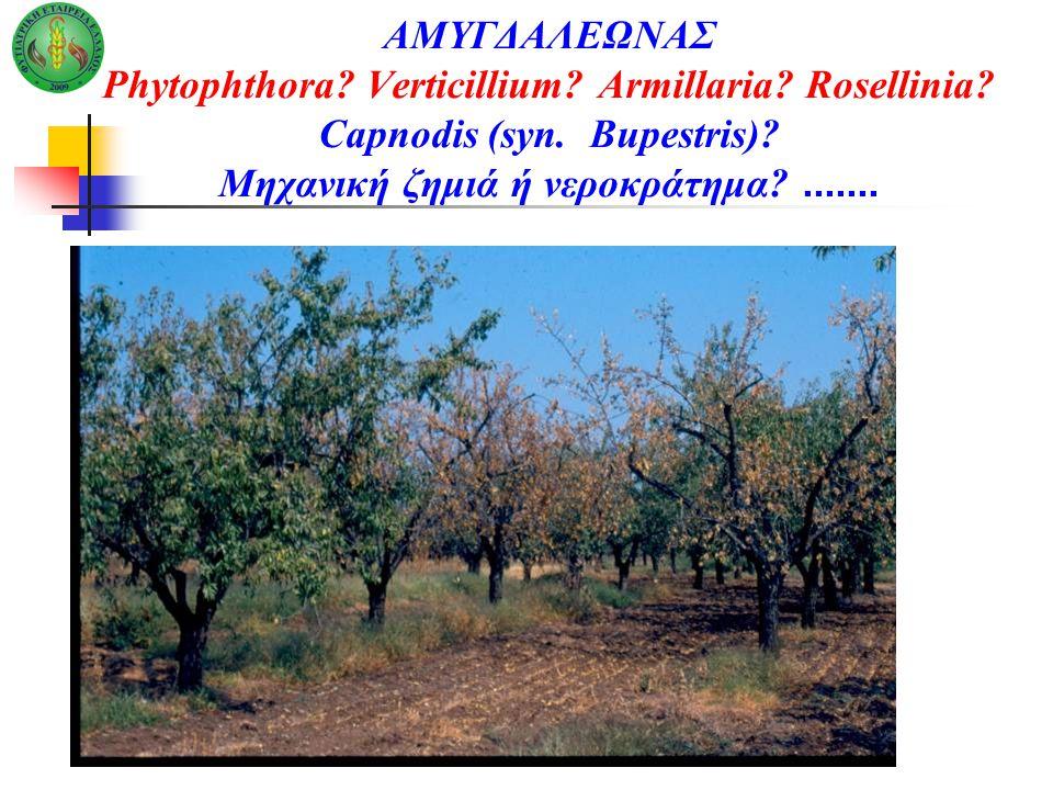 ΑΜΥΓΔΑΛΕΩΝΑΣ Phytophthora. Verticillium. Armillaria. Rosellinia