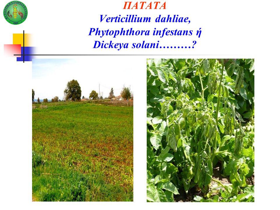 ΠΑΤΑΤΑ Verticillium dahliae, Phytophthora infestans ή Dickeya solani………