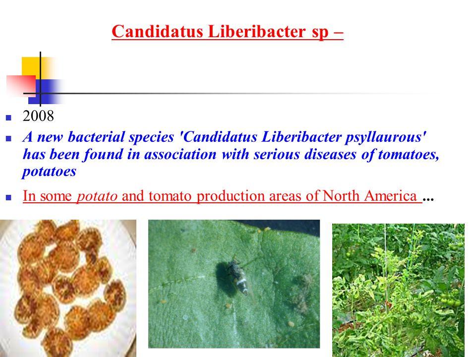 Candidatus Liberibacter sp –