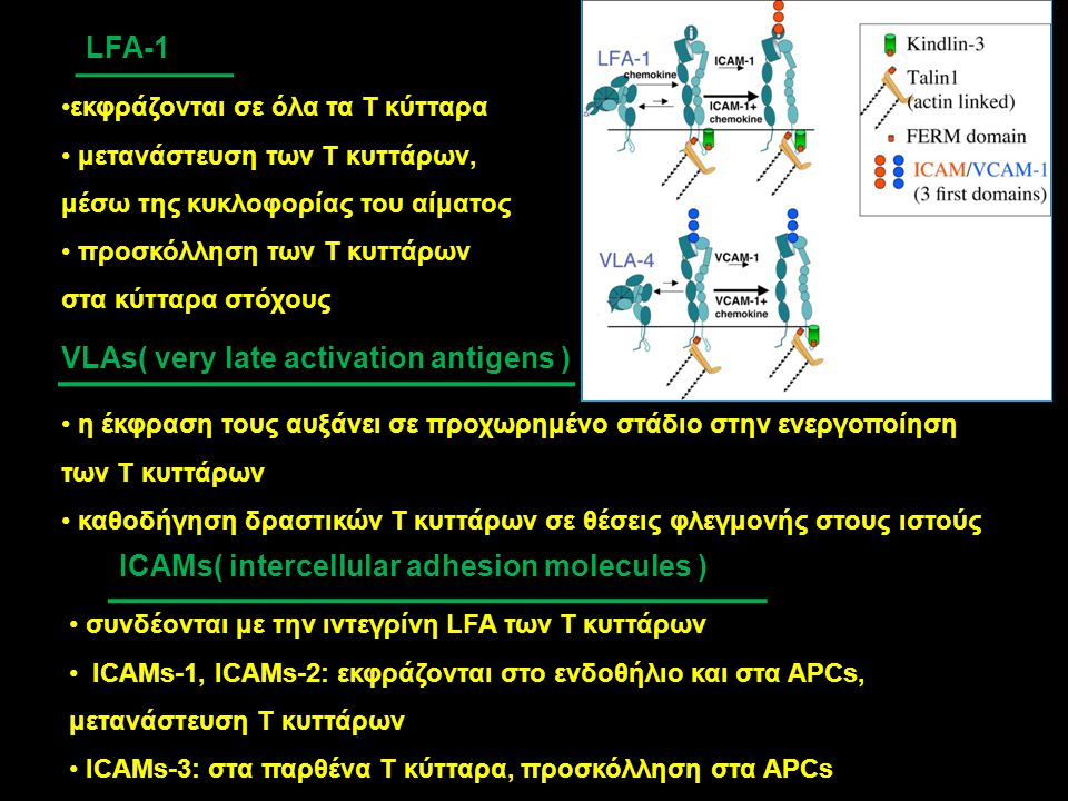 VLAs( very late activation antigens )