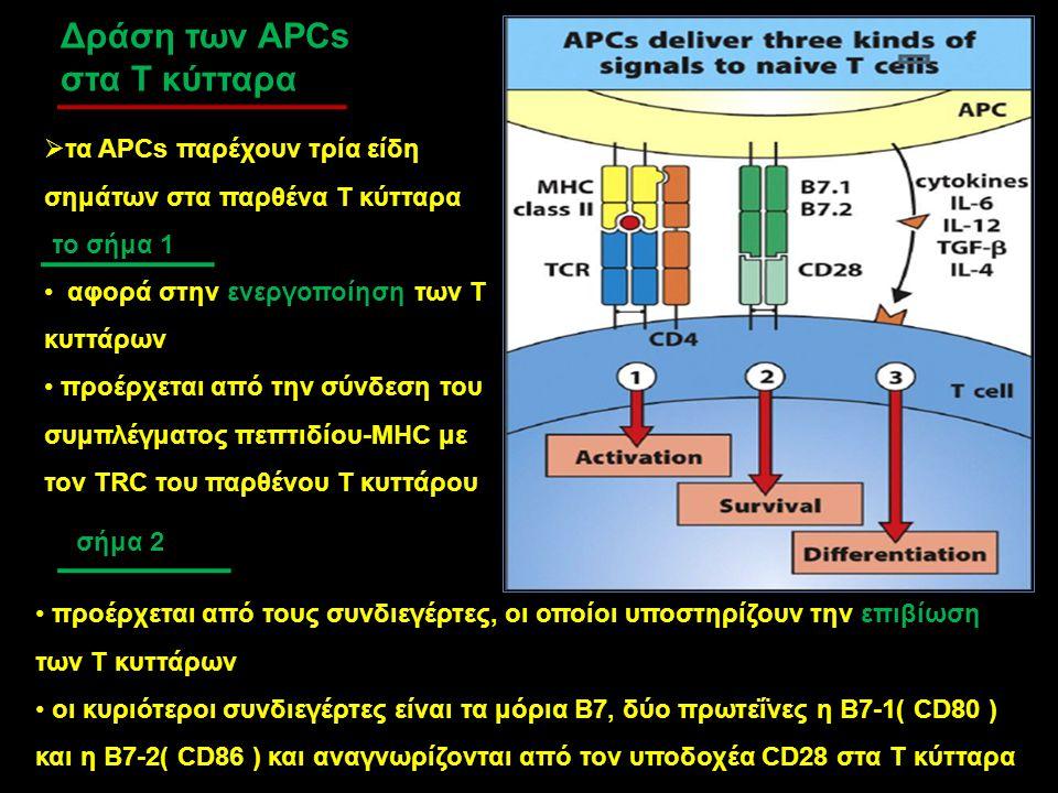 Δράση των APCs στα Τ κύτταρα