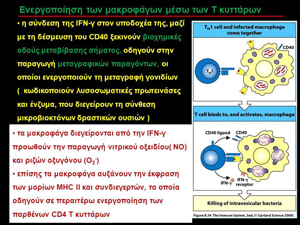 Ενεργοποίηση των μακροφάγων μέσω των Τ κυττάρων