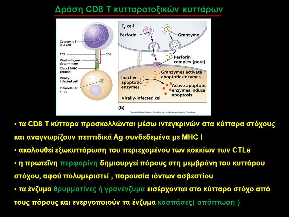 Δράση CD8 T κυτταροτοξικών κυττάρων