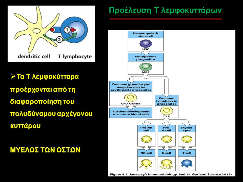 Προέλευση Τ λεμφοκυττάρων