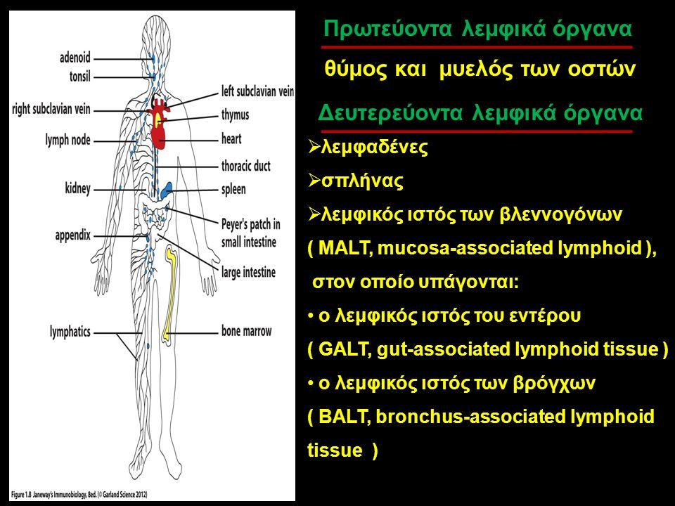 Πρωτεύοντα λεμφικά όργανα θύμος και μυελός των οστών