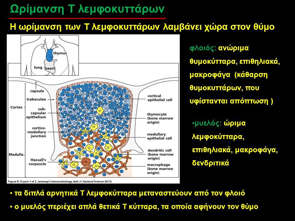 Ωρίμανση Τ λεμφοκυττάρων