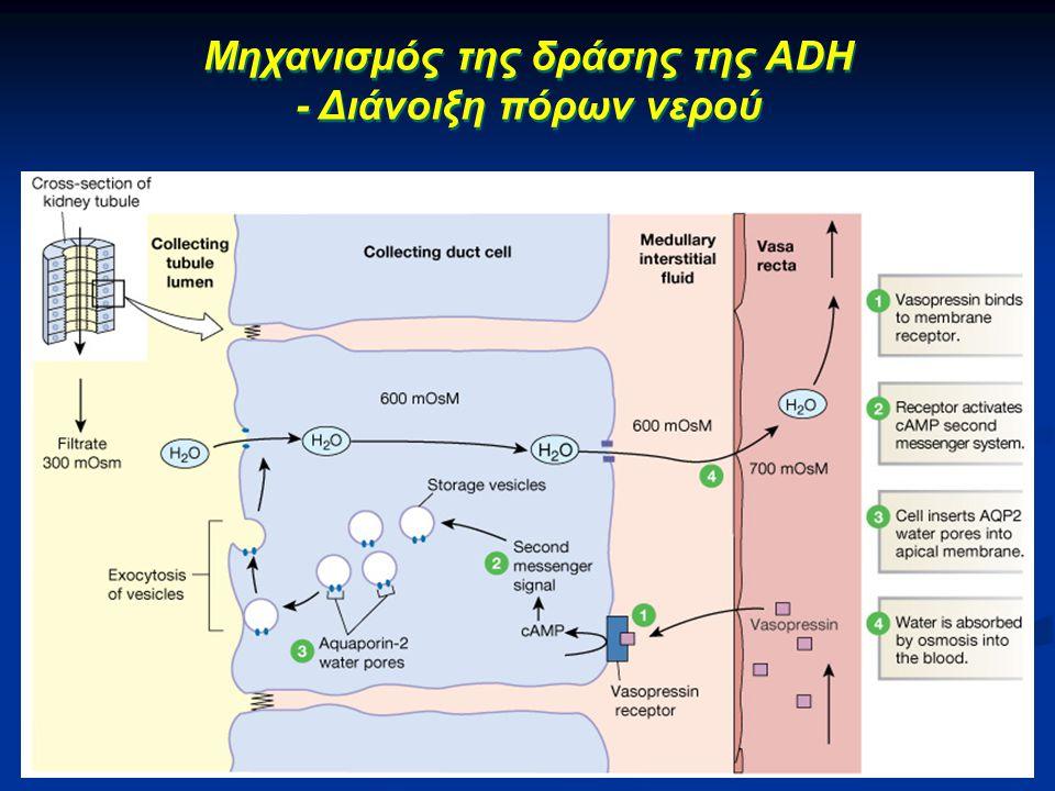 Μηχανισμός της δράσης της ADH - Διάνοιξη πόρων νερού