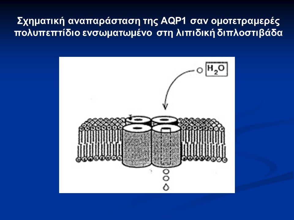 Σχηματική αναπαράσταση της AQP1 σαν ομοτετραμερές